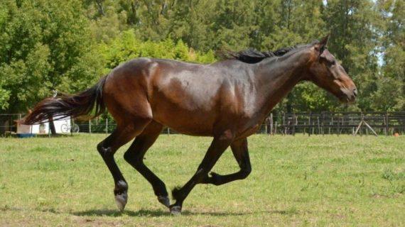 Horse Running Forward