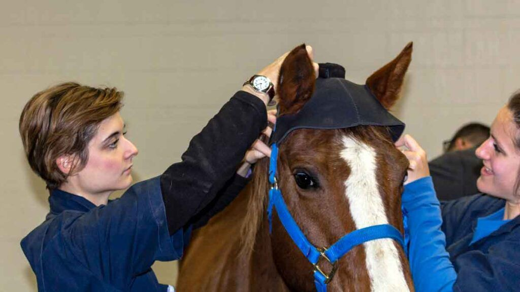 Veterinary students Eileen Larsen (left) and Katelyn Galos (right) equipping a horse with the Equinosis Q head bonnet.